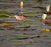 Least Bittern on a lily pad with flowers in background in early morning light
