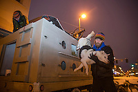 Musher Mike Ellis takes one of his Siberian Huskies from his dog truck in the early hours prior to the ceremonial start of the Iditarod sled dog race in downtown Anchorage Saturday, March 2, 2013. ..Photo (C) Jeff Schultz/IditarodPhotos.com  Do not reproduce without permission
