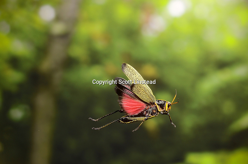 A horse lubber grasshopper in flight.