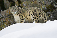 Snow Leopard in the snow - CA
