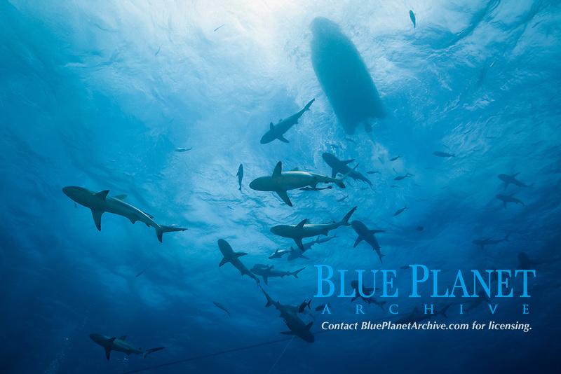 grey reef shark during feeding frenzy, Carcharhinus amblyrhynchos, Osprey Reef, Coral Sea Marine Park, Queensland, Australia, Coral Sea, Pacific Ocean