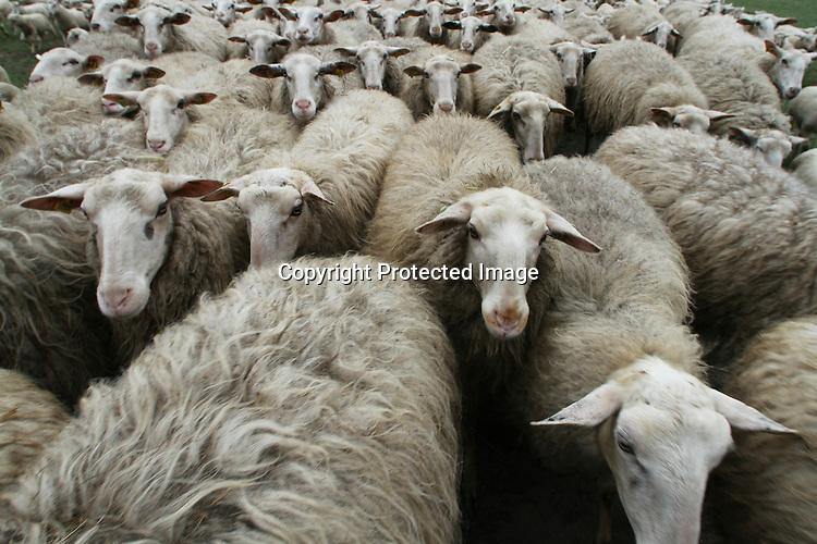 Foto: VidiPhoto..RHEDEN - De lammetjes van de schaapskudde van Nationaal Park Veluwezoom bij Rheden, mogen vrijdag voor het eerst de hei op. Dat gebeurt onder leiding van de herderinnen Cynthia Berendsen en Devin Frieling en hun border collies. Nederland telt slechts een handjevol vrouwelijke schaapherders, maar de Rhedense kudde heeft er vanaf vrijdag zelfs twee. De afgelopen maanden zijn er 160 lammetjes geboren. De kudde bestaat nu uit bijna 300 dieren. Behalve het 'ontgrassen' van de heide, heeft de Rhedense kudde ook als taak het raszuiver houden van het Veluwse heideschaap..