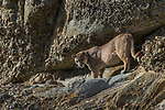 Mountain Lion (Puma concolor) male, Torres del Paine National Park, Patagonia, Chile