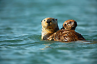 Sea Otter, Orca Inlet, Prince William Sound, Cordova, Chugach National Forest, Alaska.