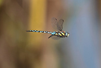Migrant Hawker Dragonfly - Aeshna mixta