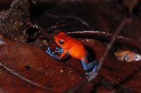 Strawberry Poison Dart Frog, Dendrobates pumilio, in the rainforst of Costa Rica