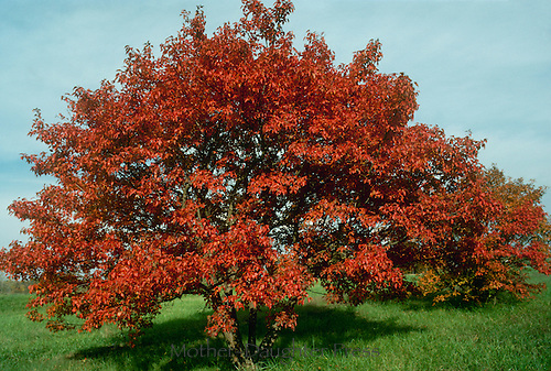 Acer Ginnala or Amur Maple, known for flame colored bright leaves in fall. This is most cold tolerant of all maples.
