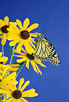 Monarch butterfly, Danaus plexippus, on black eyed susan wildflowers