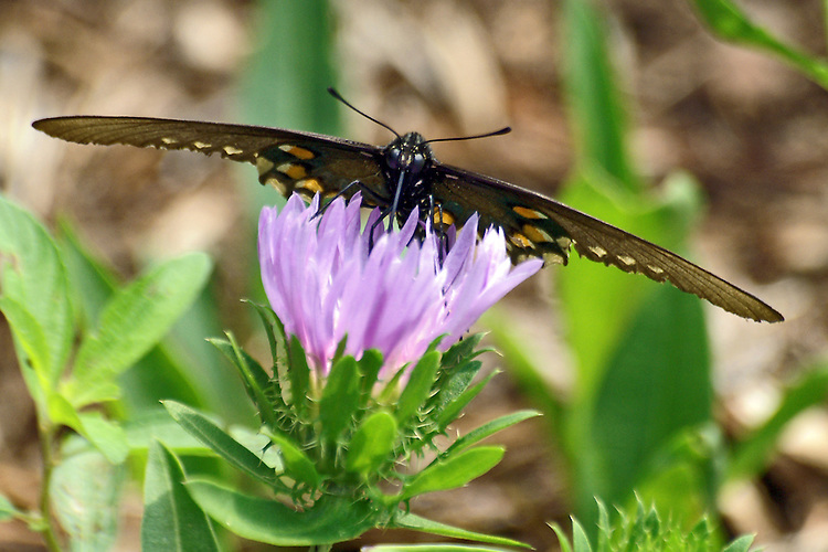 A close up of the face of a  black, female Swallowtail sipping from a lavendarflower against a multi-colored background in a botanical garden in North Carolina.