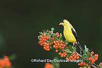 01640-15715 American Goldfinch (Carduelis tristis) male on Scarlet Firethorn (Pyracantha coccinea) berries, Marion Co.  IL