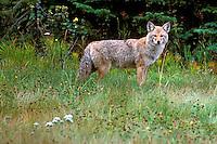 Coyote in Meadow  #W15