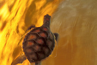 Baby Hawaiian Green sea turtle