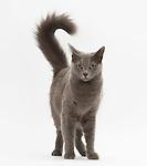 Nebelung Cat, Blue (Grey), Female