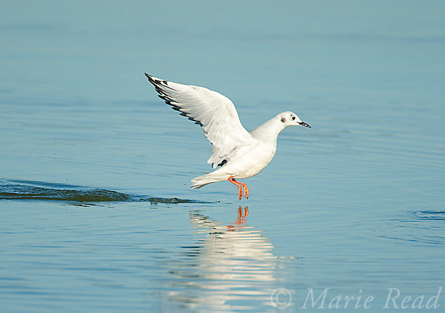 Bonaparte's Gull (Larus philadelphia), taking flight chasing fish, East Harbor State Park, Lake Erie, Ohio, USA
