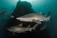 WP0295-D. Sand Tiger Sharks (Carcharias taurus), with scuba divers in the background. This species also known as Gray Nurse Shark in Australia and Ragged-tooth Shark here in South Africa. Previously classified as Eugomphodus taurus and Odontaspis taurus. South Africa, Indian Ocean.<br /> Photo Copyright © Brandon Cole. All rights reserved worldwide.  www.brandoncole.com