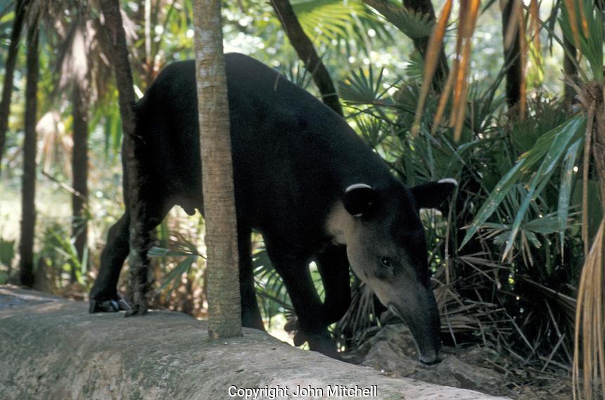 Central American Tapir (Tapirus bairdii) or Baird's Tapir at the Belize Zoo, Belize