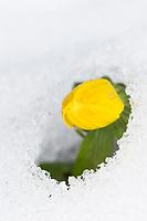 Kleiner Winterling, Winterling, Winterlinge, im Schnee, Eranthis hyemalis, Winter Aconite, snow, hellébore d'hiver, éranthe d'hiver