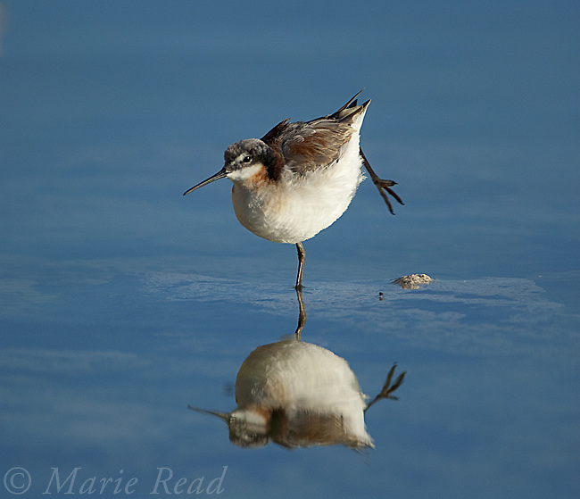 Wilson's Phalarope (Phalaropus tricolor), stretching its leg while perched on small tufa outcrop in lake, Mono Lake, California, USA