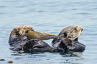 Southern Sea Otters (Enhydra lutris nereis) wrapped in kelp.  Central California Coast.  Being wrapped in kelp helps keep the otter from drifting away with the tide/current/wind while resting.