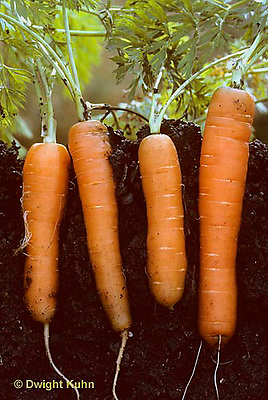 HS12-010e  Carrot - tap roots, Rondino variety