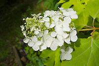 Hydrangea quercifolia Little Honey in flower, white blooms, gold yellow foliage, Oak Leaved Hydrangea