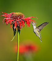Female Ruby-Throated Hummingbird sipping nectar from red Bee Balm