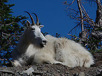 Mountain goat billy. Nice placement and great light.