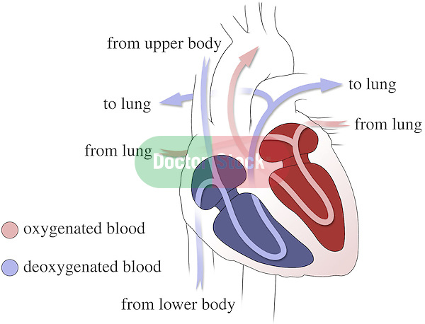 This medical exhibit depicts an anterior (front) cut-away diagrammatic view of the heart with colored arrows indicating the path of blood flow through the heart chambers and blood vessels. Arrows and labels indicate blood returning to the heart from the body; blood flowing out of the heart to the lungs; blood returning to the heart from the lungs; and blood flowing out to the body..