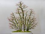 Japanese Maple (Acer palmatum), Bonsai since 1970, Warren Hill collection, Pacific Bonsai Museum, Federal Way, Washington