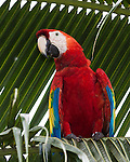 The Scarlet Macaw, Ara macao, is a large, colorful parrot found from Mexico to Brazil.  This wild macas has been banded. Photographed in Costa Rica.