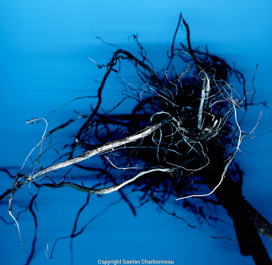 Root plant