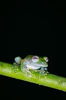 Costa Rica, Osa Peninsula, powdered glass frog, or Chiriqui glass frog, Teratohyla pulverata, or Cochranella pulverata