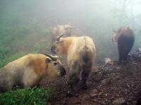 Takin (Budorcas taxicolor) captured in An Zi He NR, Sichuan.<br /> &copy; WWF / Peking University