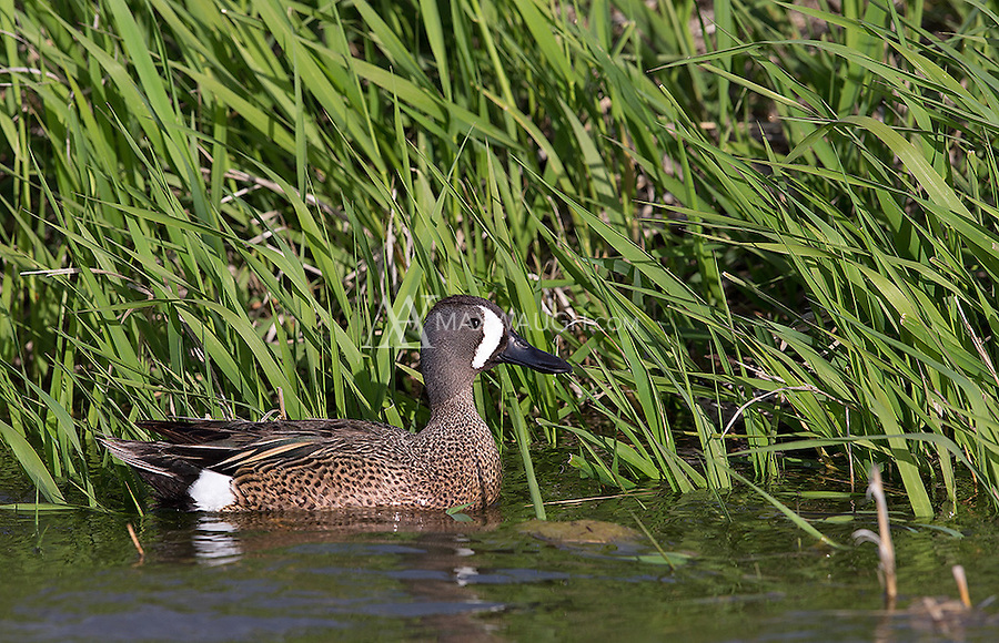 This was my first opportunity to see Blue-winged teals.