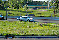 Canadian geese and gosslings on a grass island along a busy road.