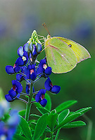 Orange Sulphur, Colias eurytheme, adult in on Texas Bluebonnet (Lupinus texensis) , Lake Corpus Christi, Texas, USA