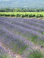 Lavender in bloom & vineyards, Provence, France