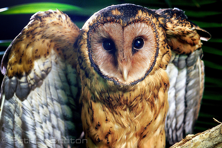 Tasmanian Masked Owl (Tyto novaehollandiae race castanops) displaying with wings up, characteristic of masked owls.