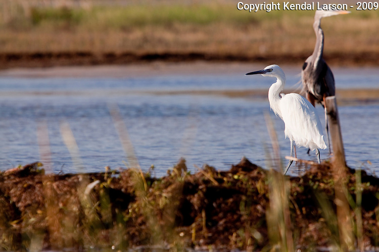 A little egret in breeding plumage (please double check ID) working the coastal shallows with a great blue heron in the background.