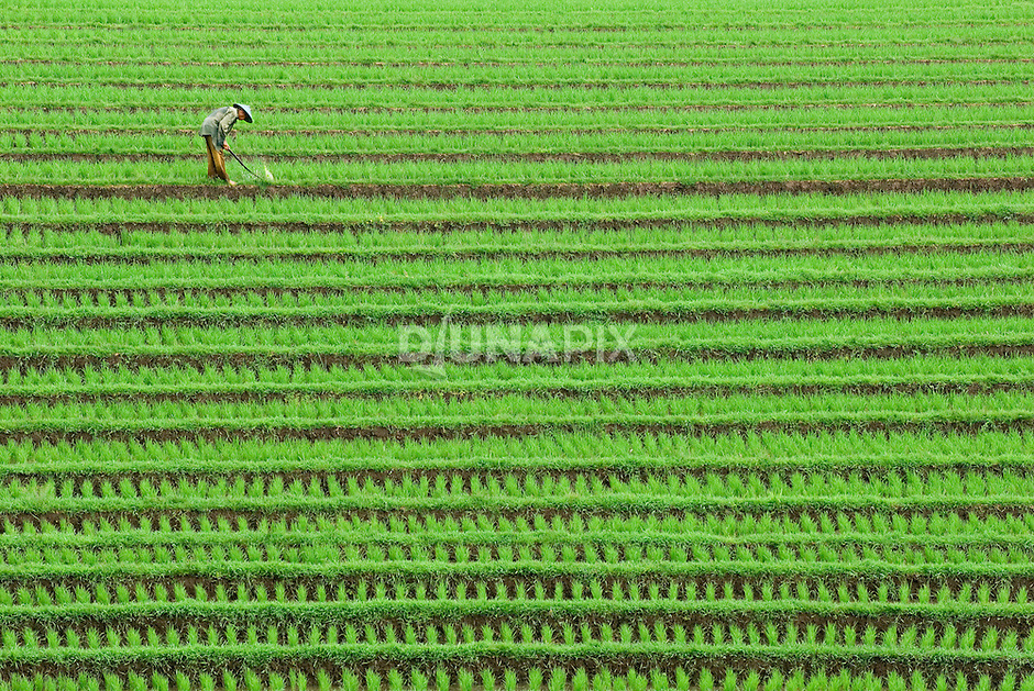 A Balinese farmer uses a stick to beat down weeds in a young rice paddy.