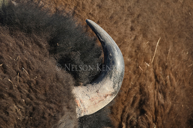 Bison Bull horn in Montana