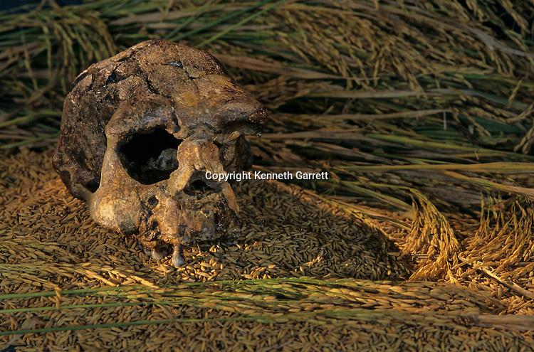 Skull; Sangiran 17; Java; Indonesia