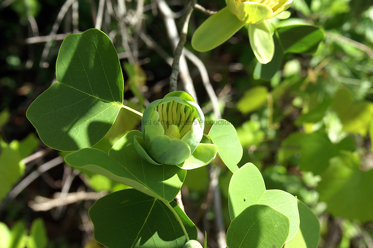 The tuliptree has greenish yellow tulip shaped flowers that are usually found at the top of the tall tree.  This flower is just beginning to open.