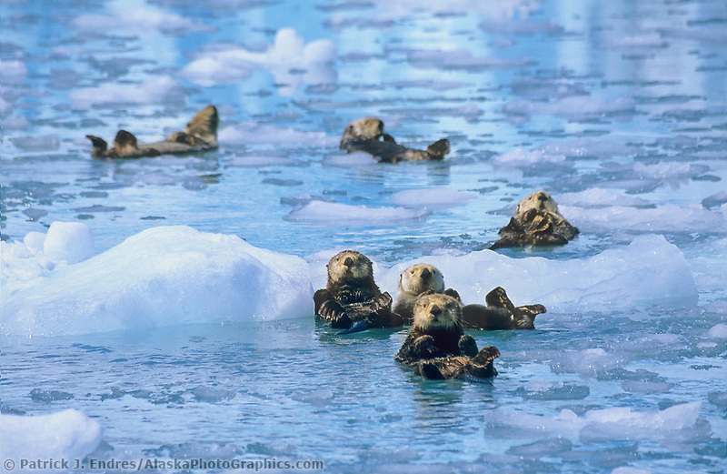 Sea otters with floating icebergs, Harriman Fjord, Prince William Sound, Alaska