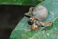Hermit Crab, Pagurus sp., adult on leaf, Manuel Antonio National Park, Central Pacific Coast, Costa Rica, Central America, December 2006