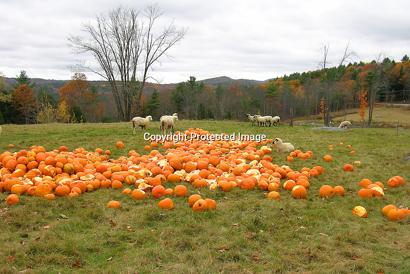 A Flock of Sheep in a Field of Pumpkins, New Hampshire