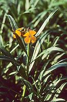 Goldlack, Gold-Lack, Erysium cheiri, Cheiranthus cheiri, Wallflower