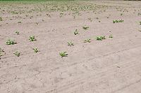 Low population sugar beet due to capping - Lincolnshire, June