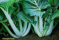 HS61-001b  Choi - Chinese cabbage - Pac Choi - Prize Choy variety