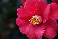 Camellias: winter flowers holding through until spring. I have seen them snow-blanketed on a frosty morning, or blooming wild on volcanic islands. In gardens, when the blossoms fall, the ground is patterned with pink.